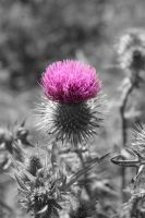 Thistle by shftwings