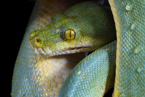Green tree python at rest by AngiWallace