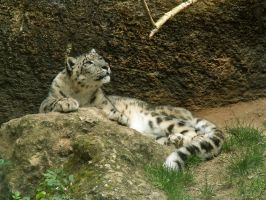 Snow leopard by CitronVertStock
