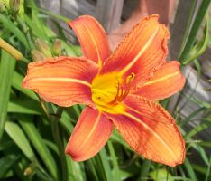 Lilly 1 by Penny-Stock