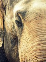 Asian Elephant by Teh-Pandacoon