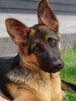 German Shepherd by Sciapod