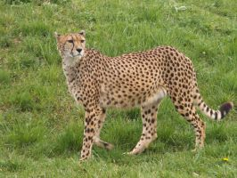 Cheetah 01 by animalphotos