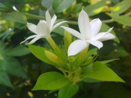 Indian Winter Tiny Flower 11 by SRUJAL