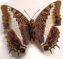 moths and butterflies stock112 by hatestock
