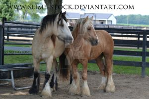 buckskin sabino and flaxen palomino colts looking by slime-stock