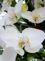 White Orchid by Erandir