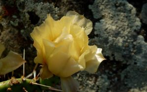 Yellow Cactus Flower by PamplemousseCeil