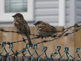 Birds on Barbed Wire by Shinigami-Stock