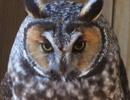 Owl Stock 15: Long-eared by HOTNStock