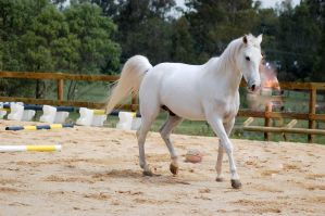 Arab little trot step by Chunga-Stock