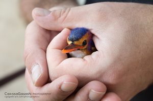 A Kingfisher Named Lexus by CarissaGagashi