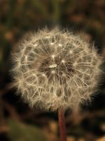 the old dandelion by robesauer