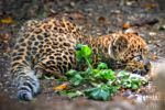 Leopard Cub 2 by brijome