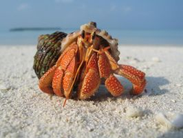 Hermit Crab by Exitialis