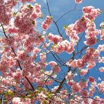 Japanese Cherrytrees are blossoming II by attomanen