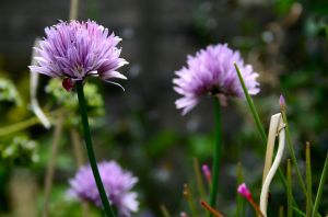 The Chives by RachelP16