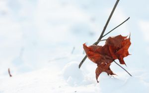 A leaf in the snow by phranzee