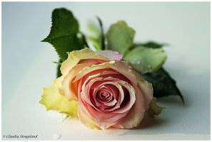 Rose by Claudia008
