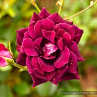 Rose from the Sydney Royal Botanical Gardens. by AHague