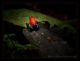 R.  Red frog by Valmont-jose