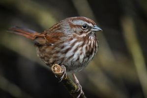 Song Sparrow Study by Spirit-whales