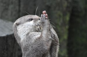 praying otter by tazy01