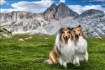 Rough Collies by Vesperity