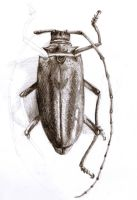 beetle by Magdusia