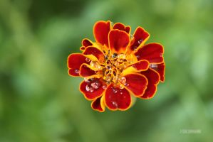 Marigold by himphotography