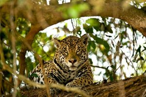 Jaguar 5 by catman-suha