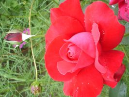 Red_Rose_stock by drowned-in-air-stock