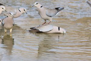 Dove Antics - Funny Nature by LivingWild