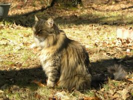 Maine Coon by FreezingDarkFantasy