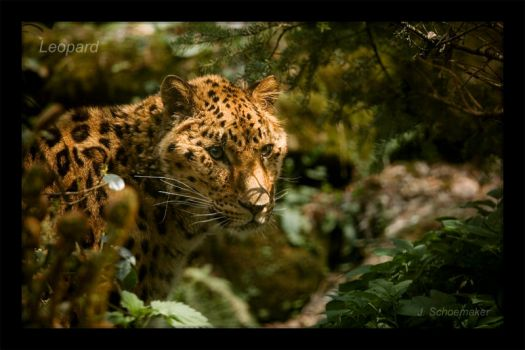Leopard by Jna1985