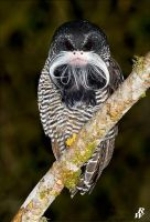 Banded owl monkey by Dwarf4r