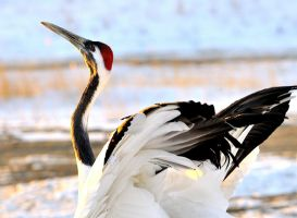 Red Crown Crane by laogephoto