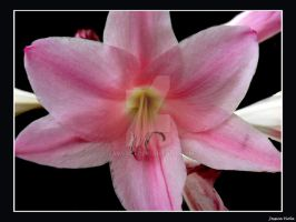 Lily by javv556