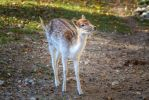 Deer / Bambi by Fotostyle-Schindler