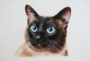 Siamese Cat by SpringzArt