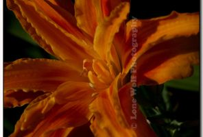 Orange deLight by LoneWolfPhotography