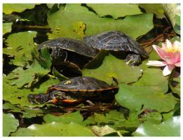 Turtles by orgetorix