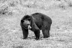 Big Black Bear by symbiandj