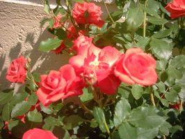 Red roses by PrincesaSevilla