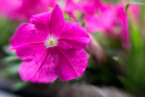 Lensbaby Pink Flower by LDFranklin