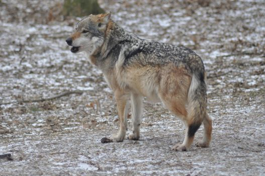 Mexican Wolf VII by CetxAmourxMexTue