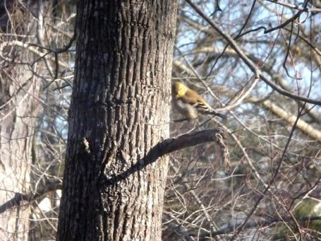 Pine Warbler by dgpc4ever