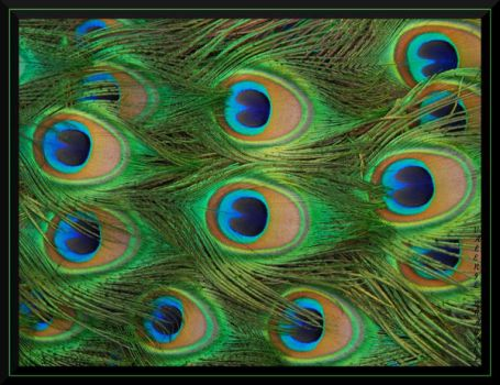 Peacock Feathers by ExquisiteDistraction