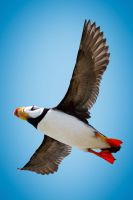 Flight of the Puffin by StevenDavisPhoto