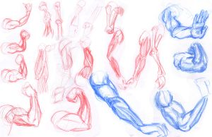 arm muscle studies by 24movements